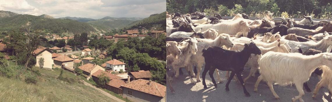 Our morning traffic was a herd of goats - Rural Petrich in Bulgaria