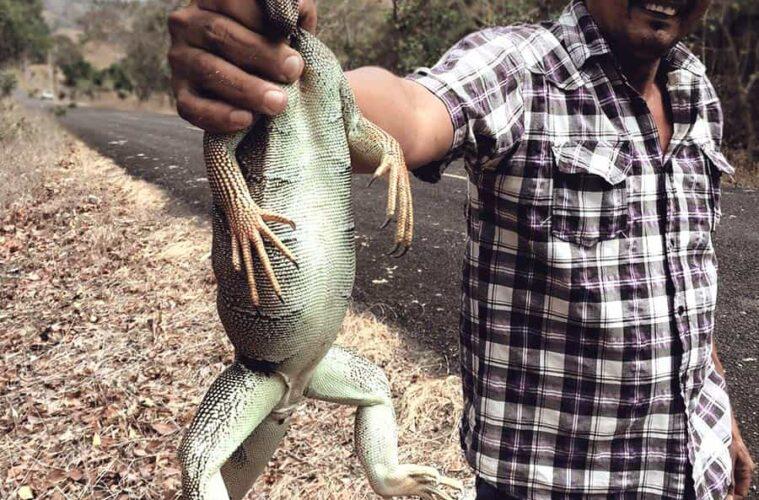 hunting an Iguana for dinner