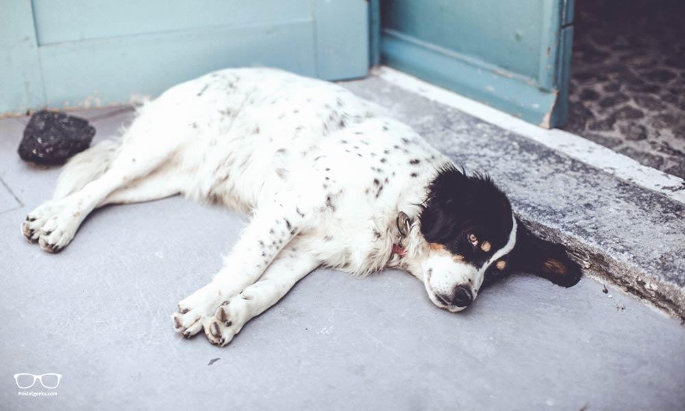 Relaxing dog and guard at Caveland Santorini
