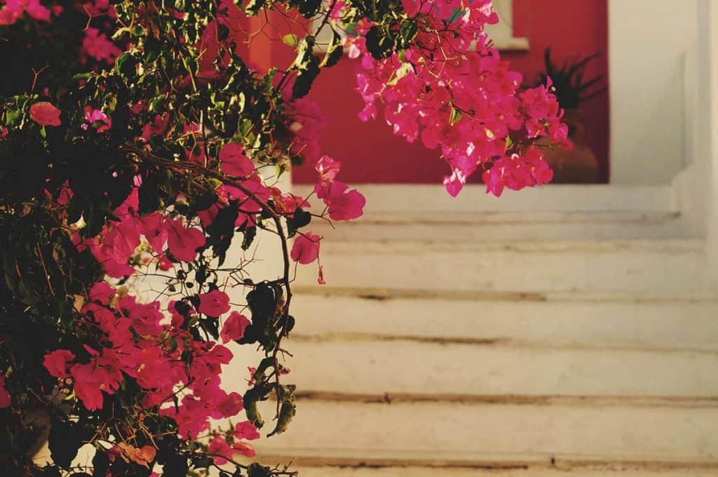 Flowers in Santorini