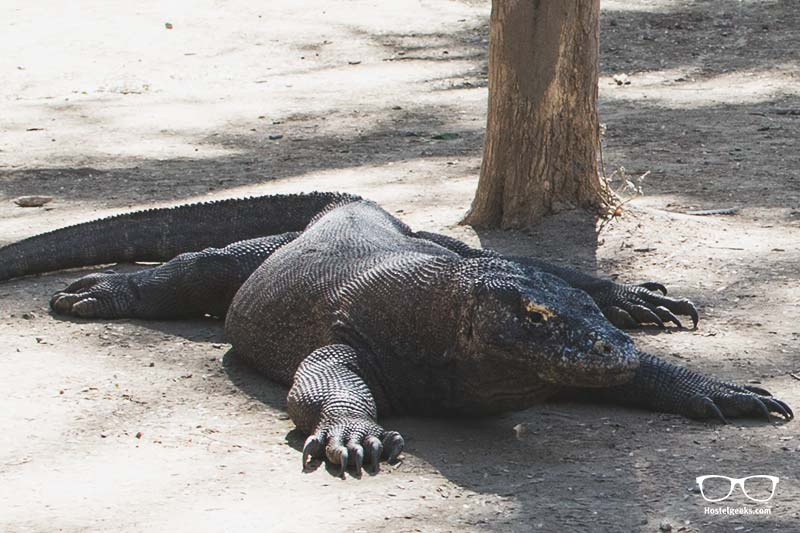 Real-Life Komodo Dragon on Komodo Island