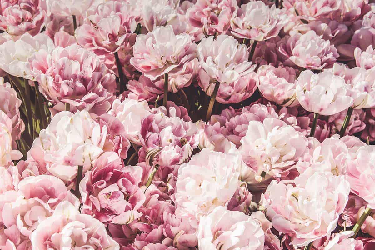 Royal roses in London