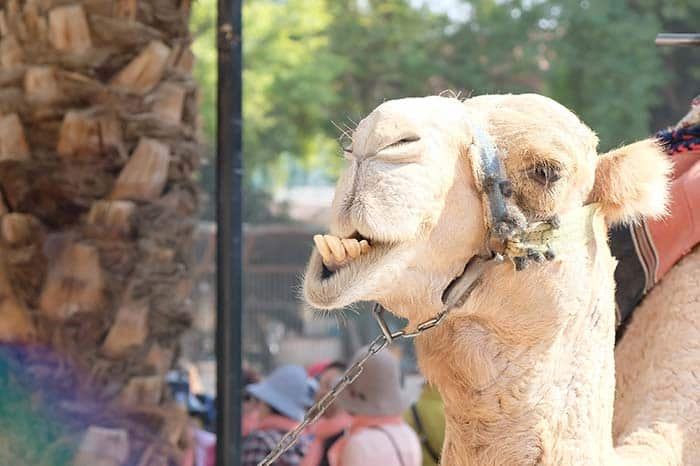 Funny Camels; always worth it to take a photo
