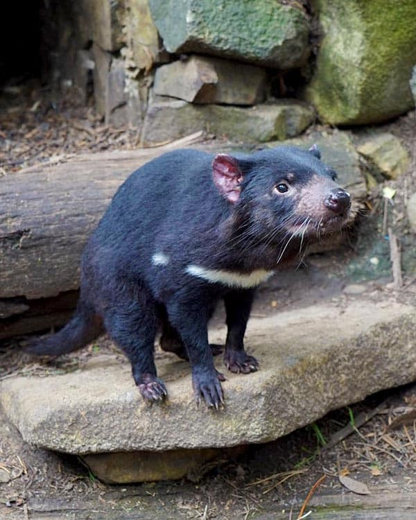 Visiting the Tasmanian Devil Unzoo is one of the fun things to do in Tasmania, Australia